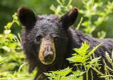 The Fascinating Hibernation Habits of Black Bears