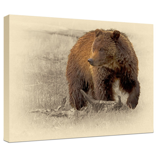 Grizzly Bear Gallery Wrapped Canvas