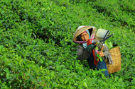 Who are Producing Tea Too?!