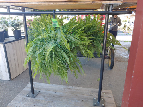 Hanging Porch Fern - Loudounberry
