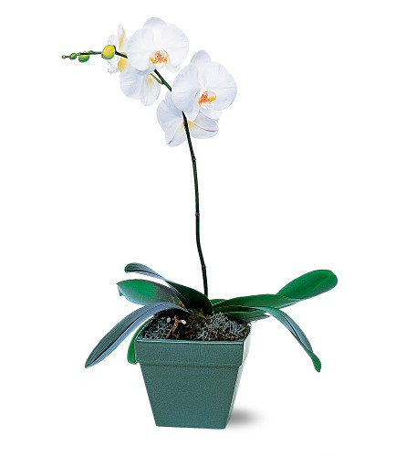 A stunning white orchid plant