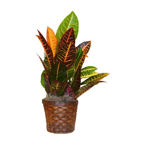 Fall plant croton