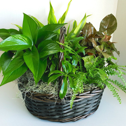 Send a Basket of Plants, featuring an assortment of green plants designed in a wicker basket.