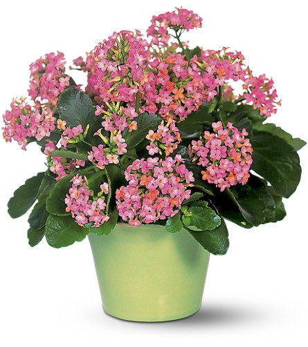 This hardy plant produces a plethora of small, colorful pink flowers bursting from a compact group of waxy leaves. Plus, it produces warm hearts as well.