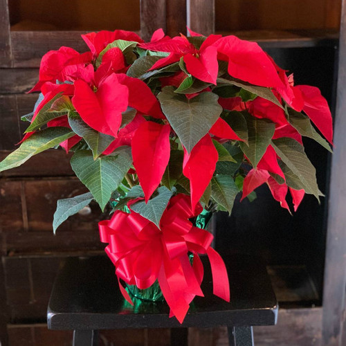 Standard 6 inch poinsettia in foil and standard bow