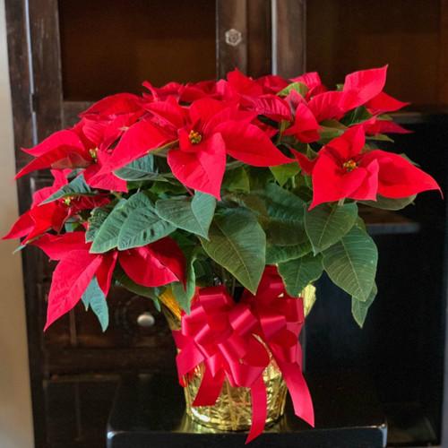 """Christmas Poinsettia - 8"""""""