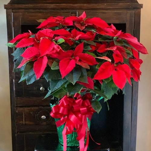 """Christmas Poinsettia - 10"""""""