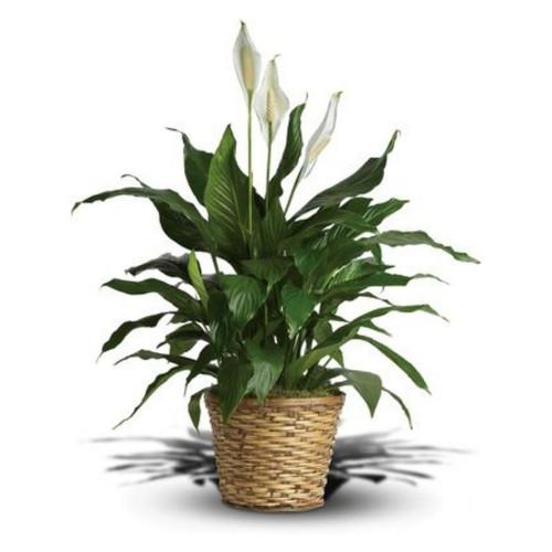 Simply Elegant Spathiphyllum - Medium