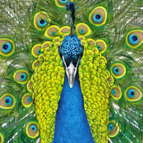 Peacock Greeting Card - Icon Art