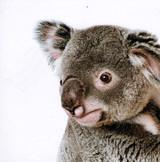 Shane the Koala Greeting Card - Icon Art