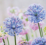 Alliums Get Well Card | Greeting Card | Icon Art