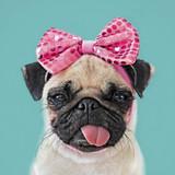 Pretty Pug Comedy Greeting Card  - Icon Art