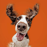 Tommy the Spaniel Comedy Greeting Card - Icon Art