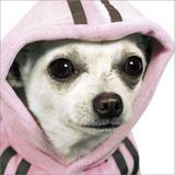 Delphine the Chihuahua