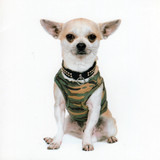 Pierre the Chihuahua