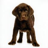 Gus the Labrador