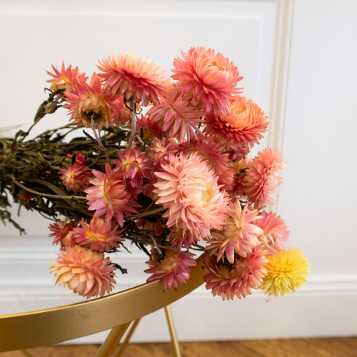 helicrysum rose