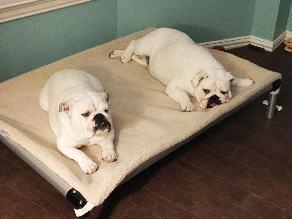 f9b897402ac2 2 Bulldogs on an Aluminum Bed With Fleece