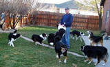 Australian Shepherds & Border Collies