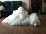 Shedding: A Hairy Problem for Dog Owners