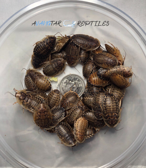 "3/4"" Large Dubia Roaches"