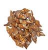 Fascialoria Filamentosa Seashell