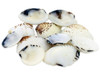 Venus Clam Seashells