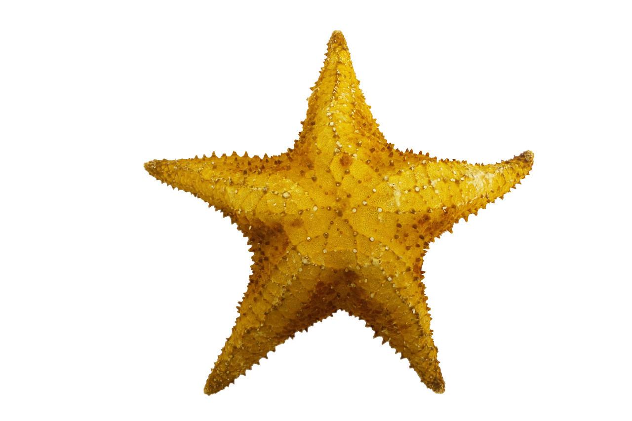 Bahama Starfish