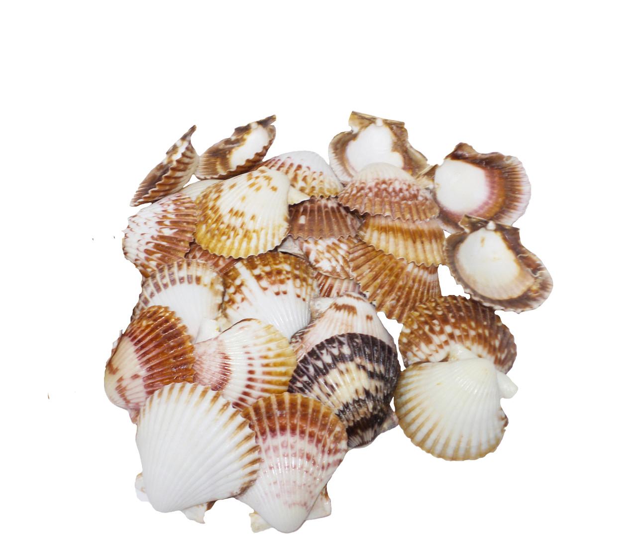 Giant Brown Pecten Lacquered Seashells