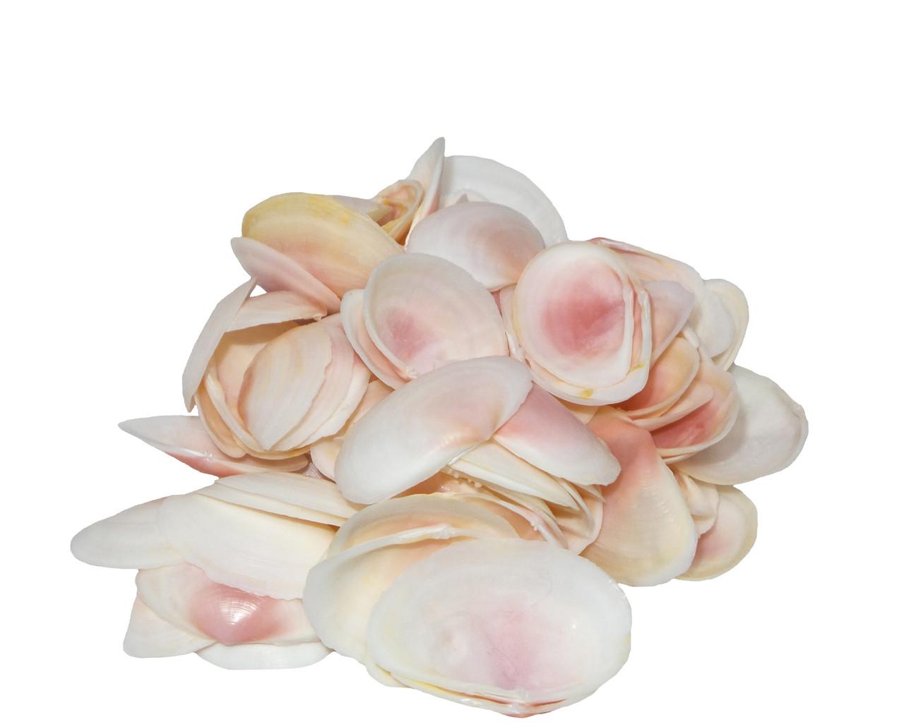 Pink Tellina Seashell