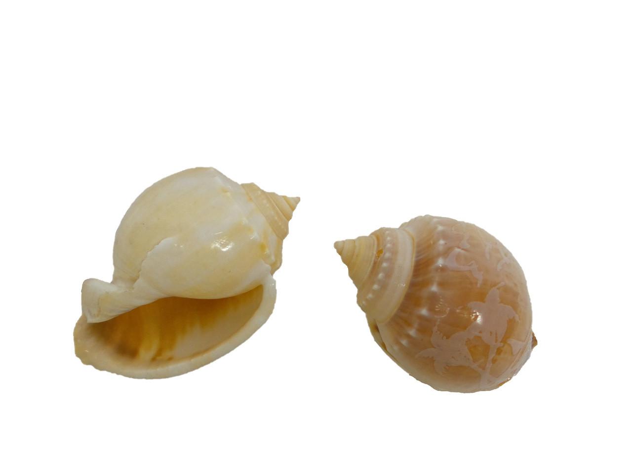 Carved Bonnet Seashells