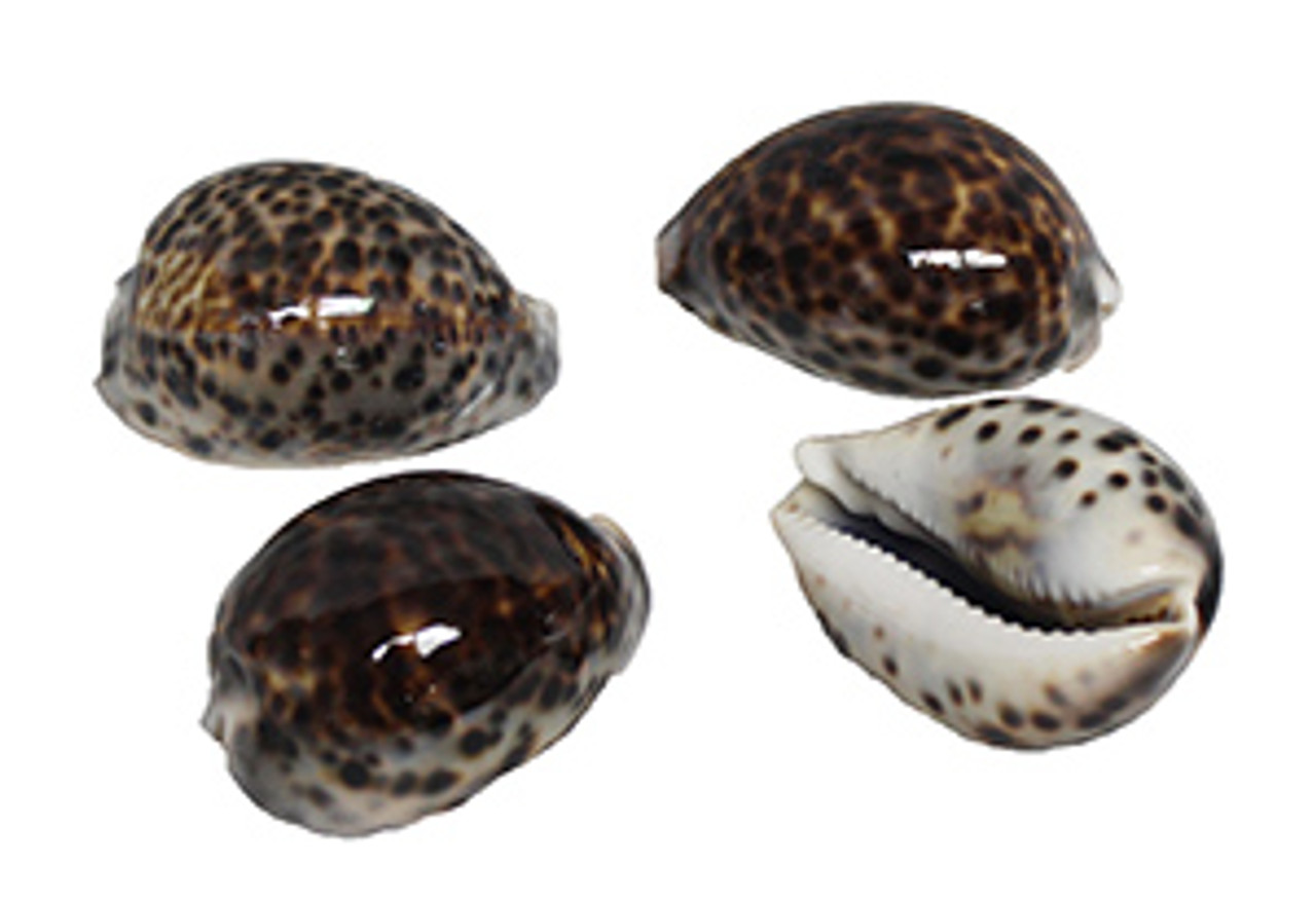 Tiger Cowrie Seashells