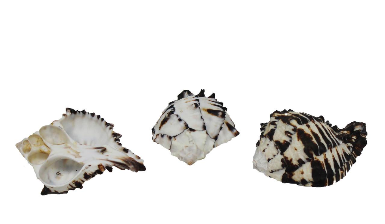 Black Murex Seashell Napkin Ring
