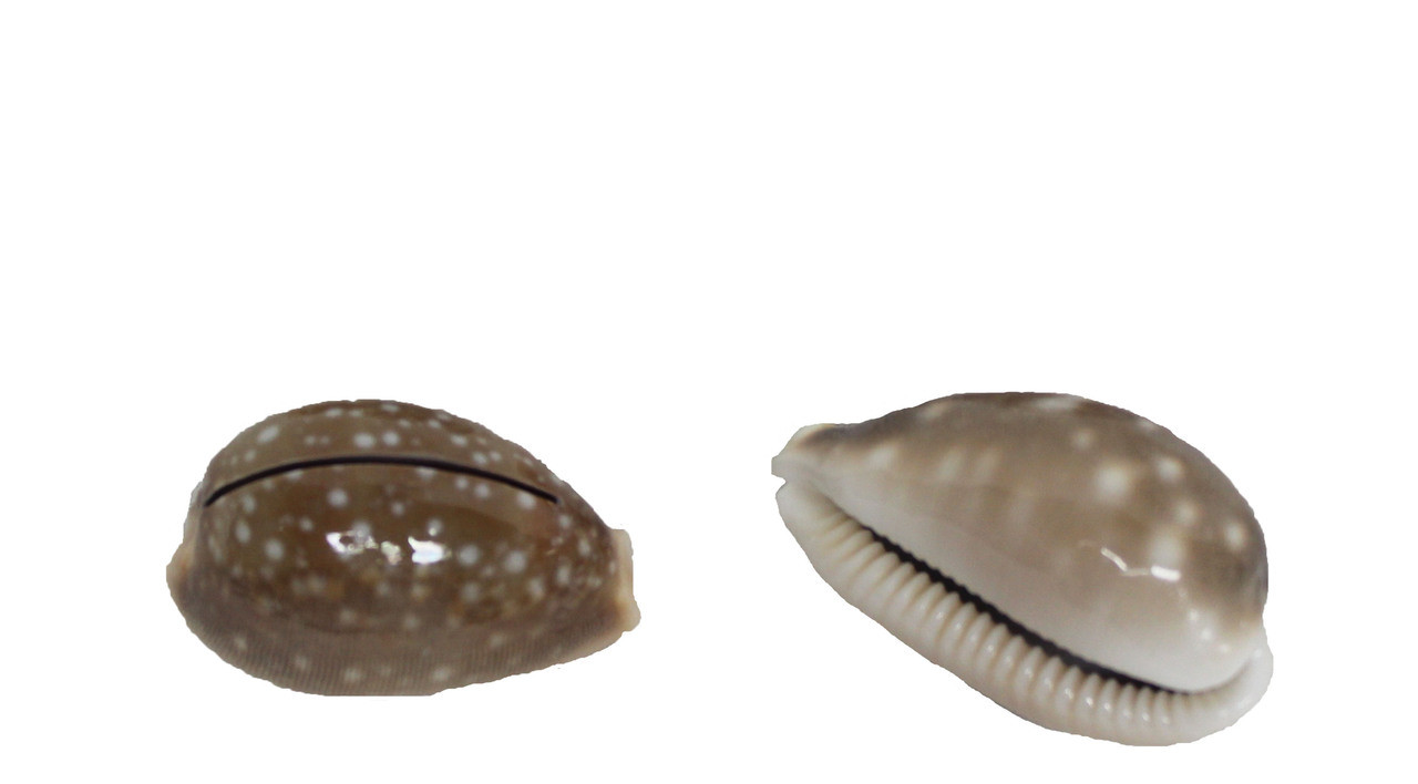 Fawn Cowrie Seashell Cardholder