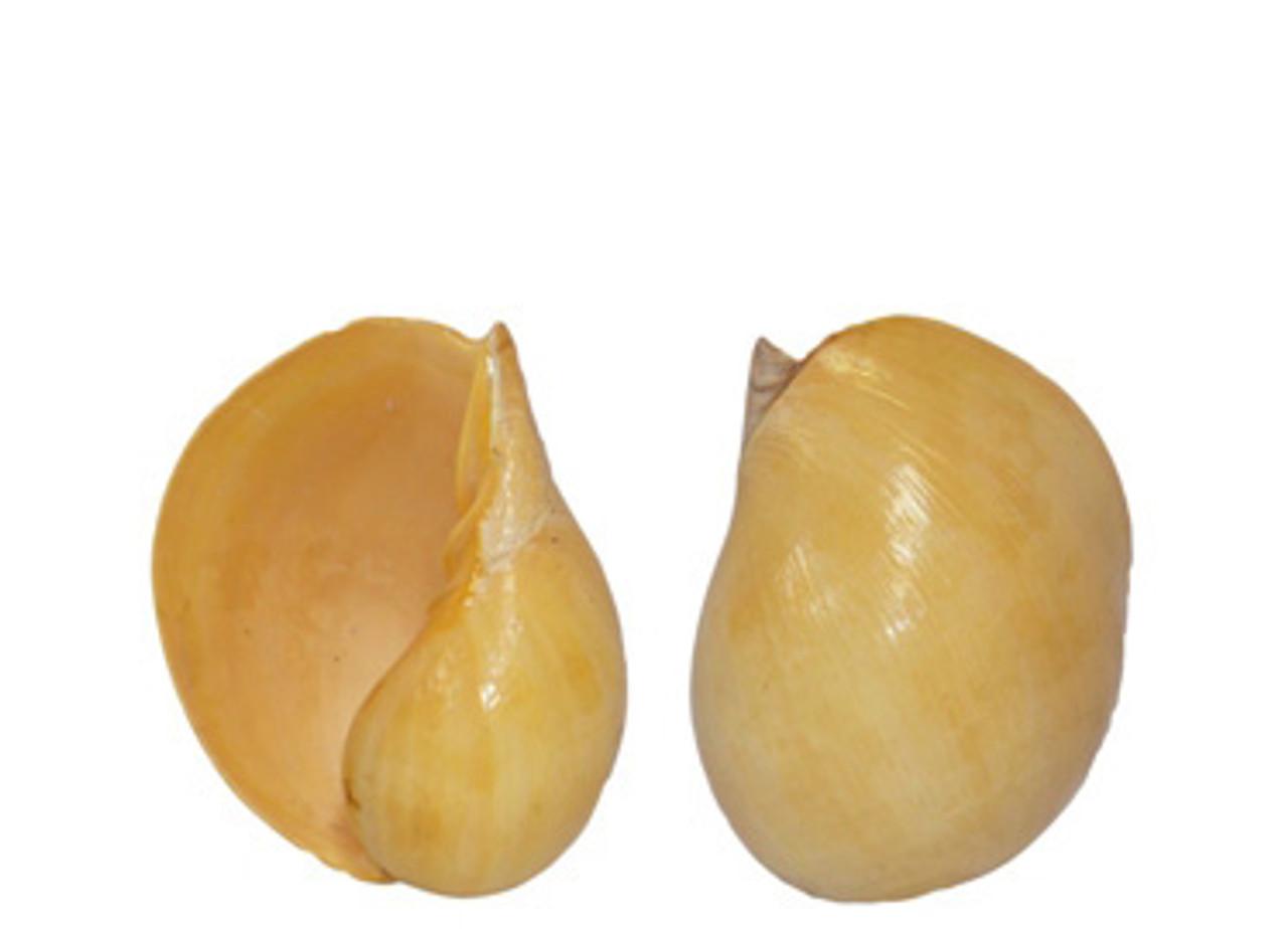 Melo Melo Seashell