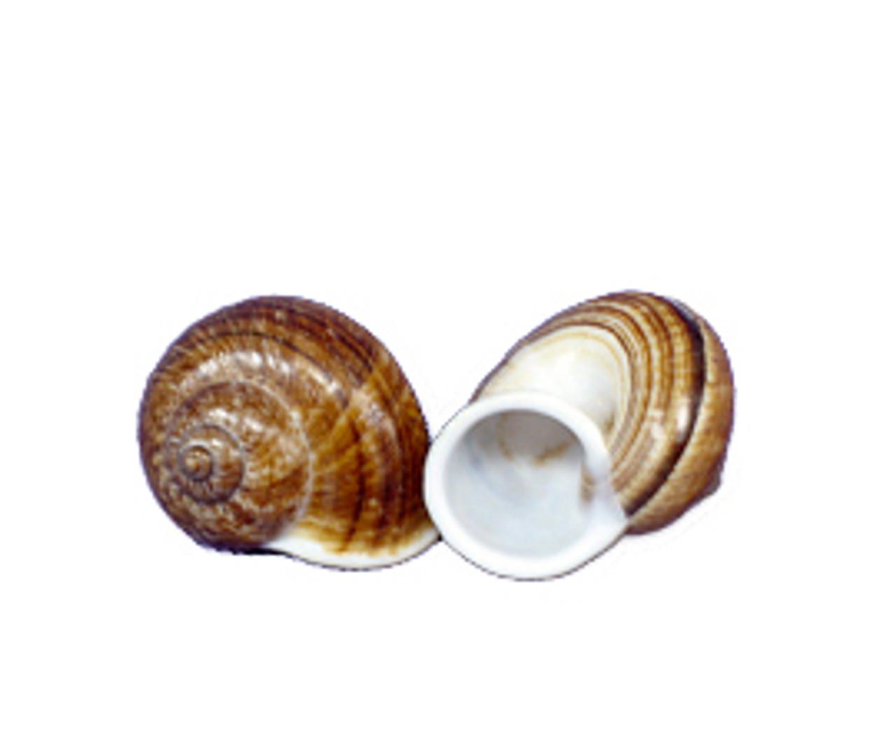 Mountain Brown Snail Seashell