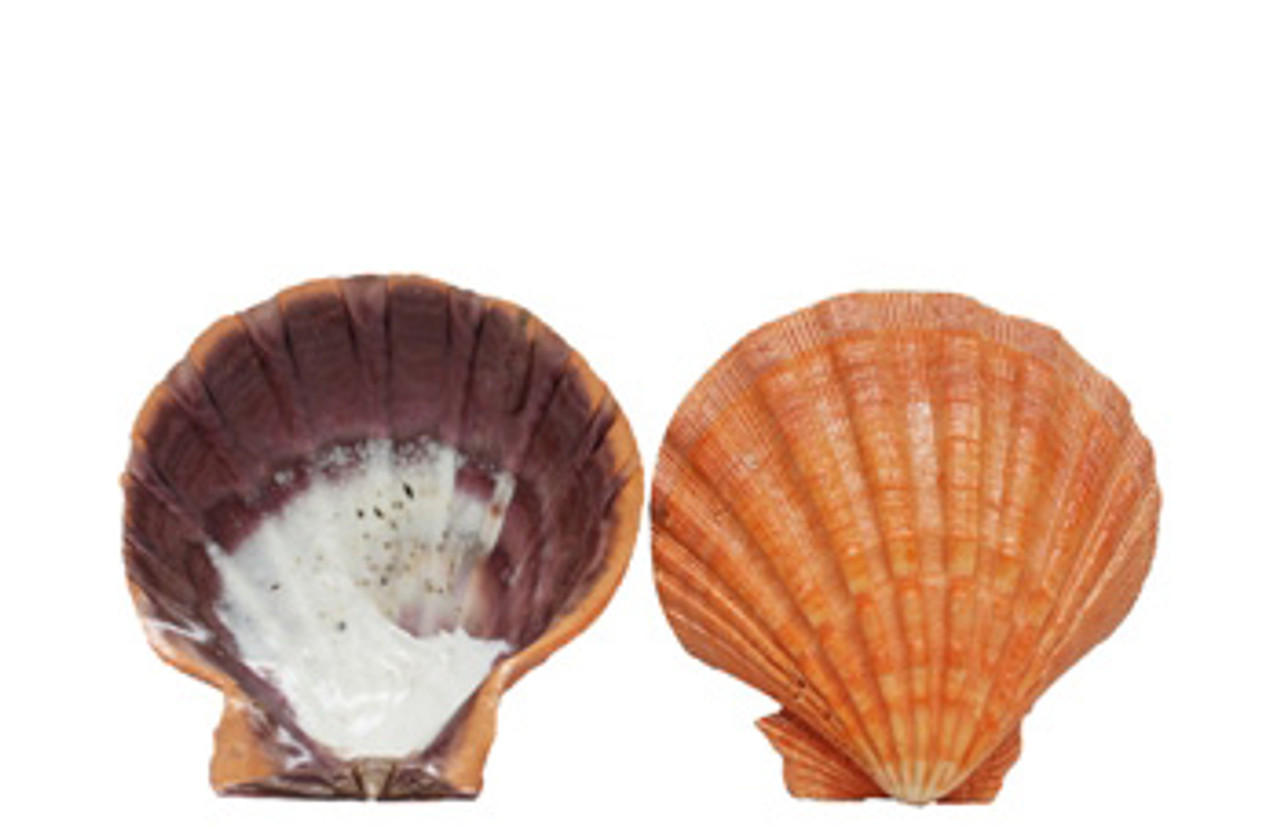 Orange Lion's Paw Seashell Pairs - Lacquered