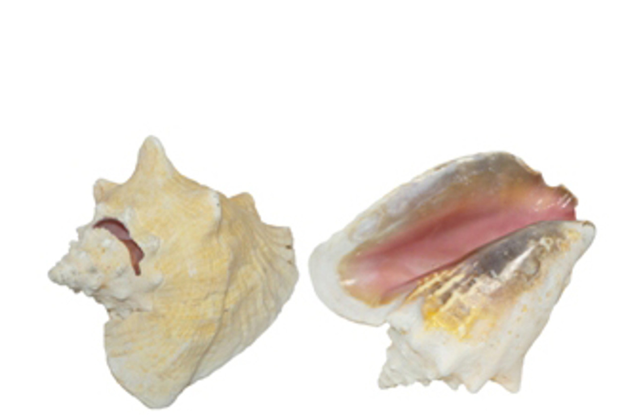 Pink Conch Seashell with Slit and Unedged