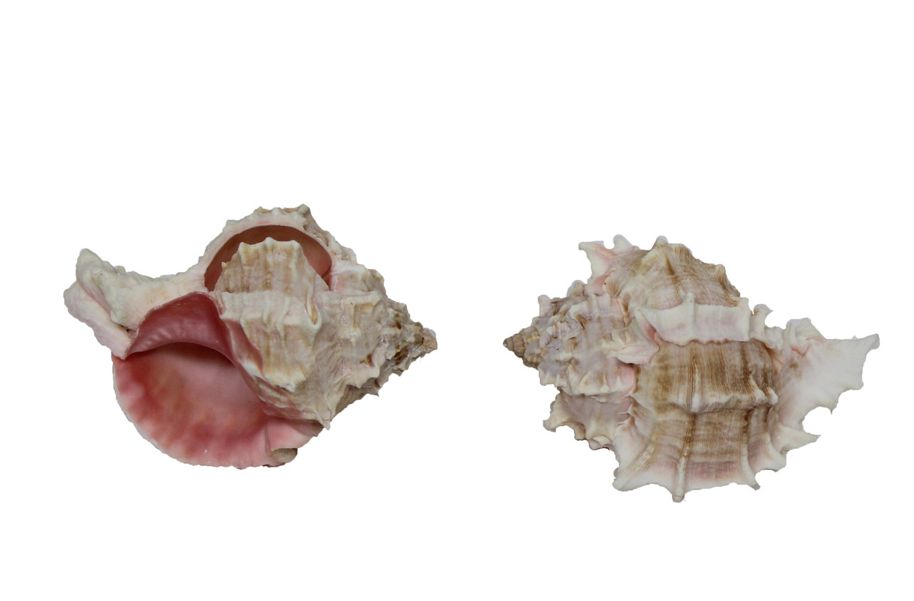 Pink Murex Seashell Napkin Ring