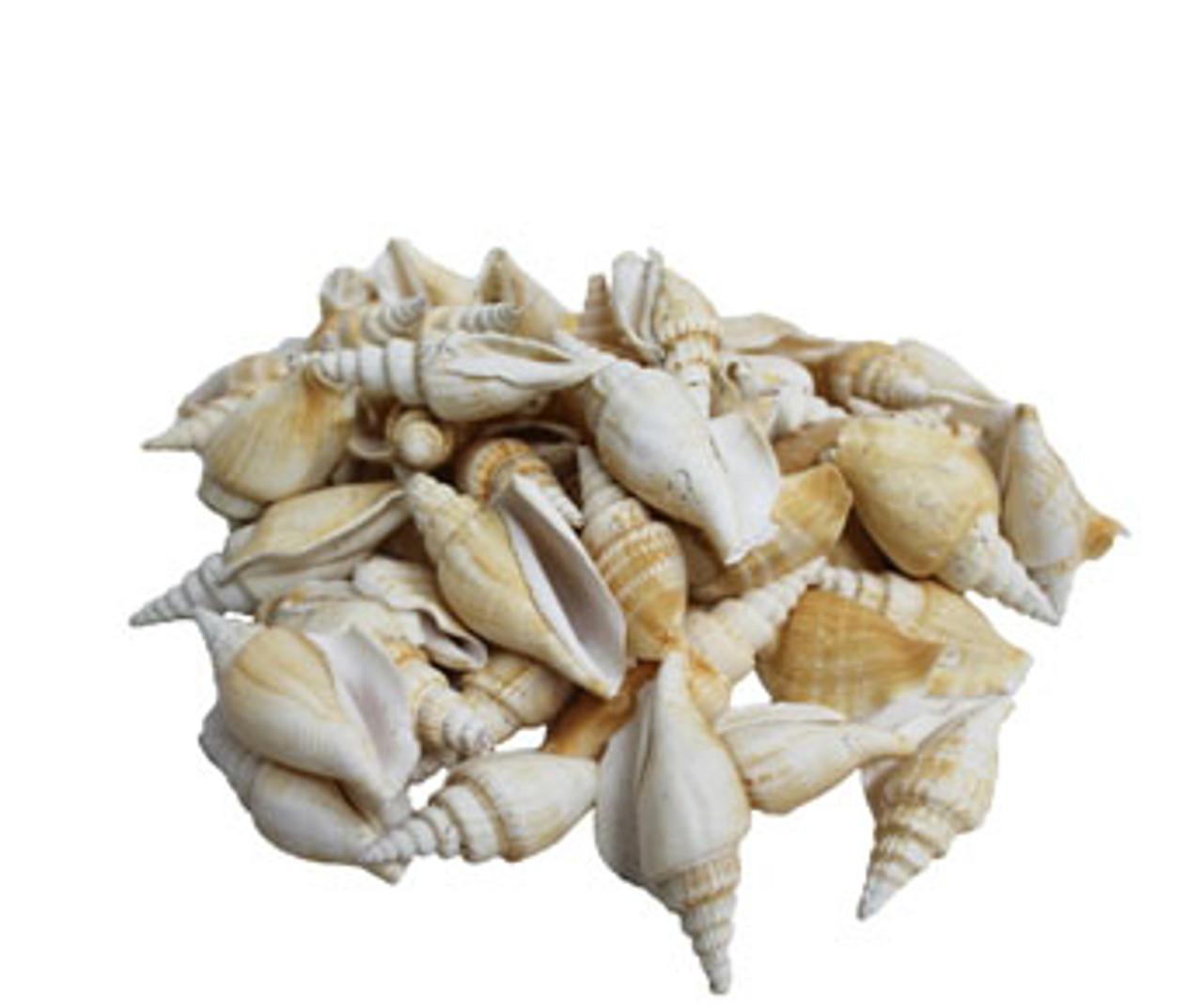 Strombus Vittatus Seashells