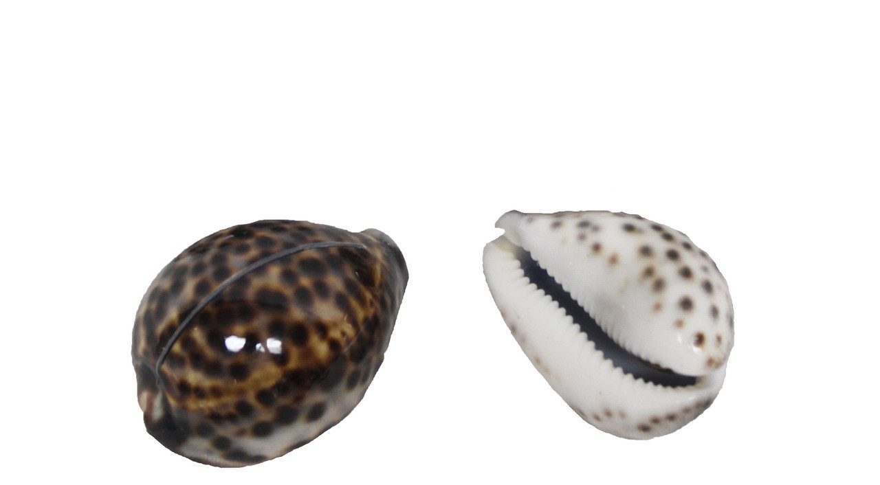 Tiger Cowrie Seashell Cardholder