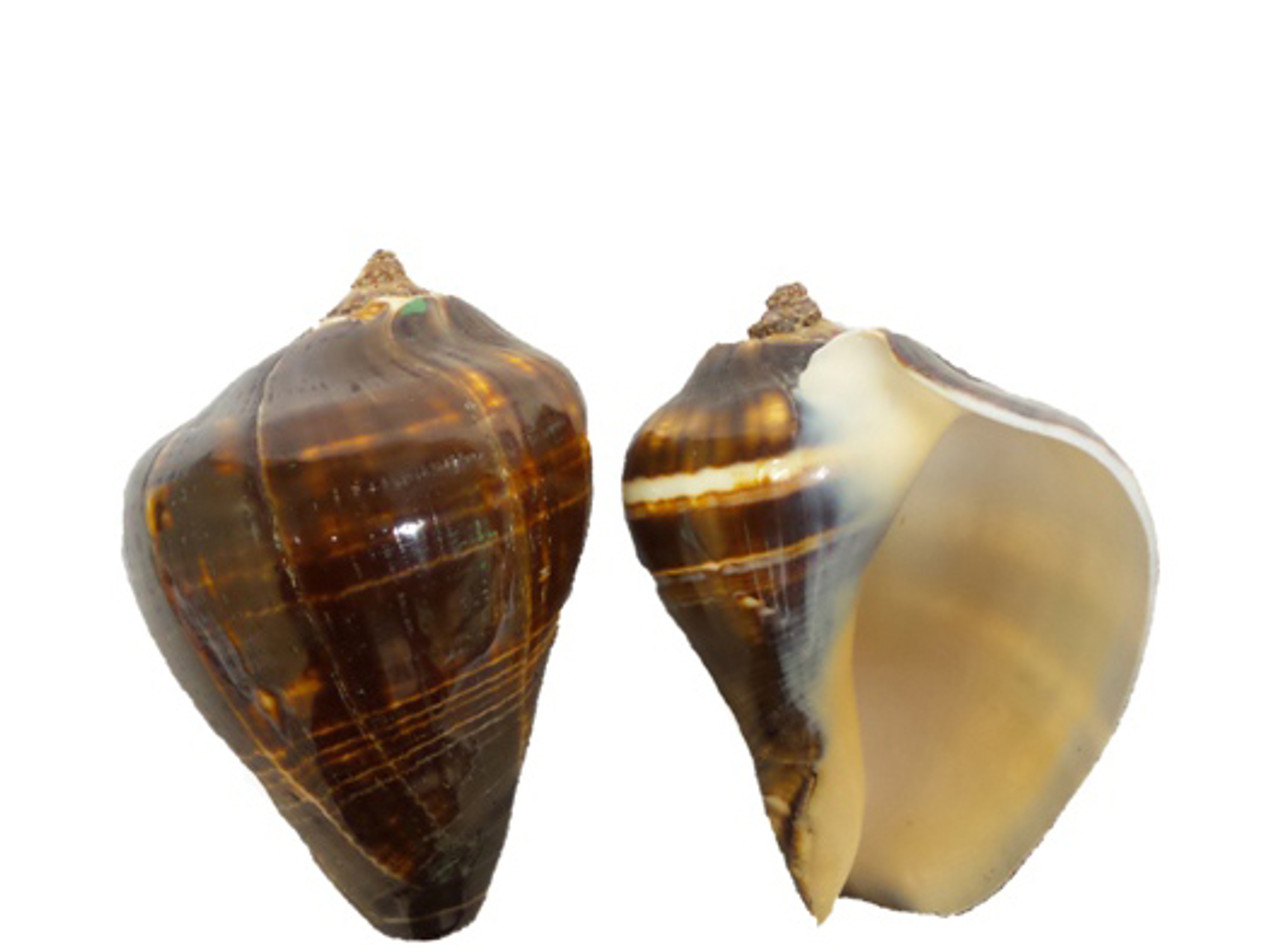 Polished Fiber Conch Seashells