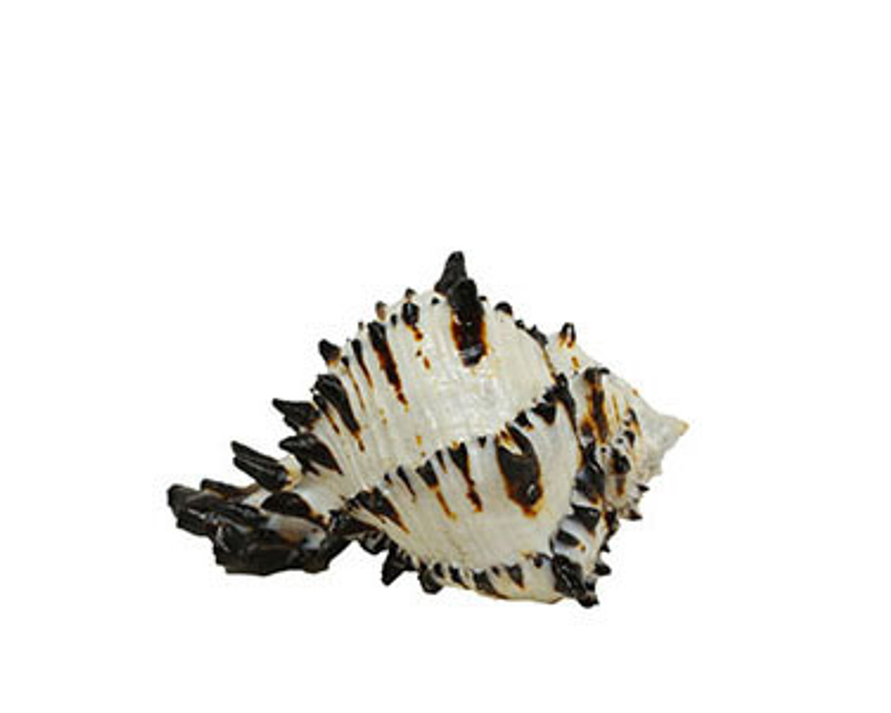 Black Murex Lacquered Seashells