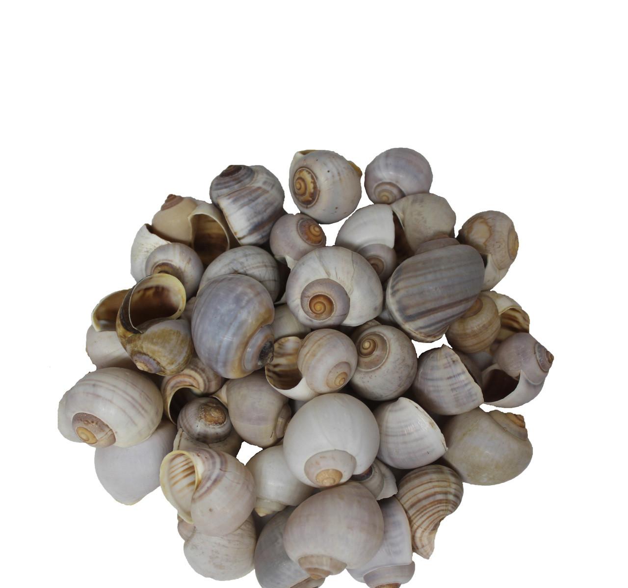 Apple Snail - Kilo