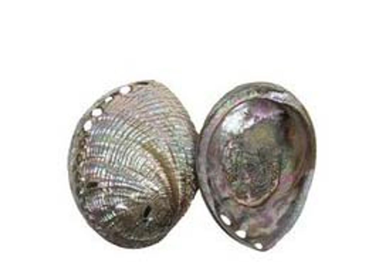 Polished Blue Abalone Seashells