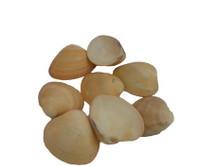 Orange Chocolate Clam Lacquered Seashells