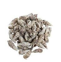 Aluco Vertagus Seashells