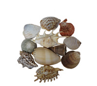 Assorted Large Seashells