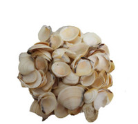 Cream Clam Seashells