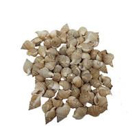 Distorsio Reticulata Seashells- Kilo